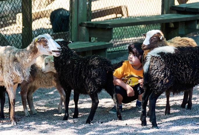 Tristan sitter tillsammans med många får i Barnens Zoo i Slottsskogen